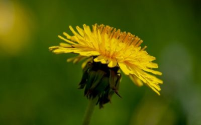 How to Eat Dandelions and Why Give Them a Try