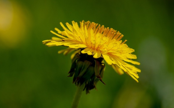 How to Eat Dandelions and Why